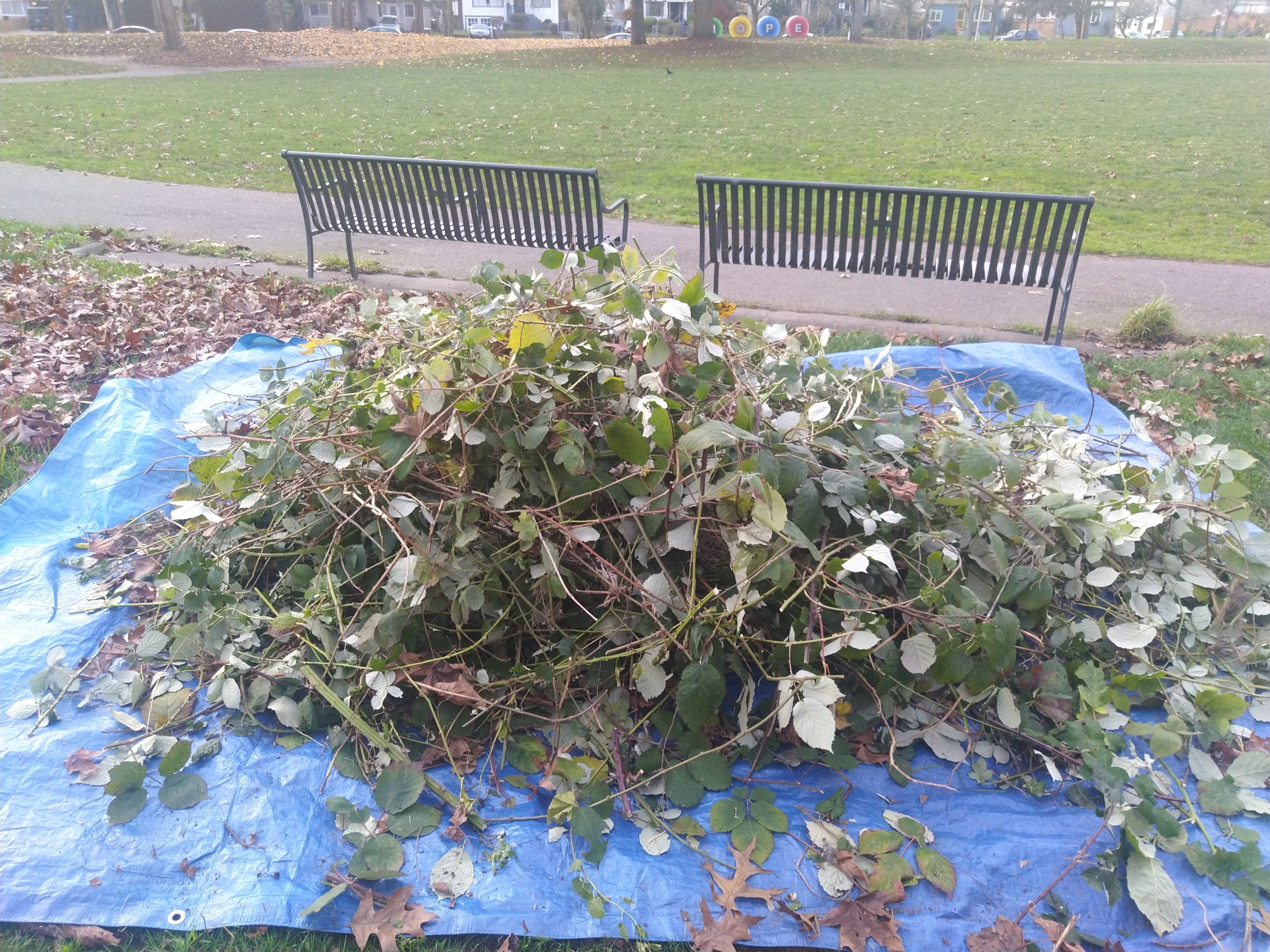 Image description: A large, blue tarp, wider than two park benches, covered with a pile of blackberry vines
